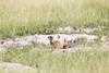 Meerkats MakgadikgadiPans_14-03-09__O6B1712