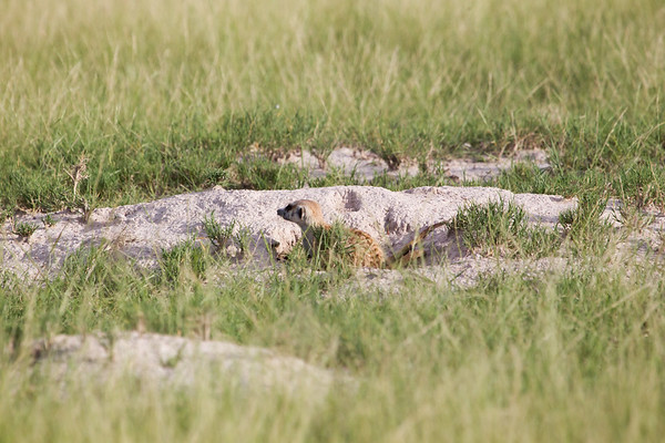 Meerkats MakgadikgadiPans_14-03-09__O6B1708