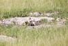 Meerkats MakgadikgadiPans_14-03-09__O6B1714