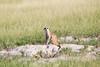 Meerkats MakgadikgadiPans_14-03-09__O6B1720