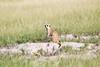 Meerkats MakgadikgadiPans_14-03-09__O6B1719