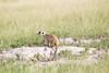 Meerkats MakgadikgadiPans_14-03-09__O6B1717