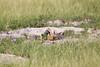 Meerkats MakgadikgadiPans_14-03-09__O6B1713