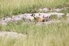 Meerkats MakgadikgadiPans_14-03-09__O6B1710