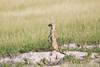 Meerkats MakgadikgadiPans_14-03-09__O6B1722