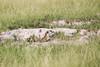 Meerkats MakgadikgadiPans_14-03-09__O6B1716