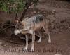 MexWolf Tucson_10-10-23_IMG_22-1077579863-O