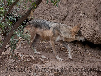 MexWolf Tucson_10-10-23_IMG_22-1077579643-O