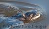 untitled20110129_RiverOtter La-1184605577-O