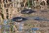 untitled20110129_RiverOtter La-1184605694-O