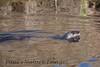 untitled20110129_RiverOtter La-1184606175-O
