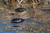 untitled20110129_RiverOtter La-1184605791-O