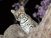 About the size of a bobcat, this spotted cat ranges from the very southwestern  range of the U.S. to Venezuela. These photos were taken in the Pantanal region of Mato Grosso state, Brazil
