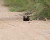 PygmyMongoose Ngala_14-03-18__O6B3079