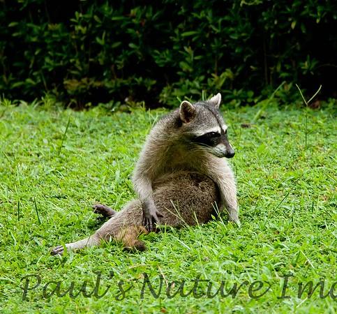 Racoons Tambor_09-11-07_7I2B20-786420671-O
