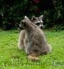 Racoons Tambor_09-11-07_7I2B20-786420391-O