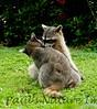 Racoons Tambor_09-11-07_7I2B20-786420535-O