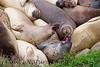 Elephant Seals Fem_06-04-11_00-546272419-O