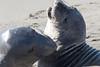 SeaElephant PiedrasBlancas_15-11-17__C7A0019