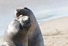 SeaElephant PiedrasBlancas_15-11-17__C7A0048