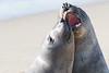 SeaElephant PiedrasBlancas_15-11-17__C7A0035