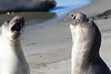 SeaElephant PiedrasBlancas_15-11-17__C7A0045