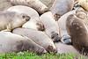 Elephant Seals Fem_06-04-11_00-546272344-O