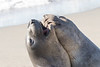 SeaElephant PiedrasBlancas_15-11-17__C7A0038