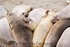 Elephant Seals Fem_06-04-11_00-546272530-O