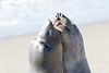 SeaElephant PiedrasBlancas_15-11-17__C7A0030