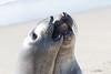 SeaElephant PiedrasBlancas_15-11-17__C7A0031