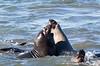 SeaElephant PiedrasBlancas_15-11-17__C7A9797