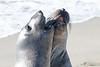 SeaElephant PiedrasBlancas_15-11-17__C7A0039