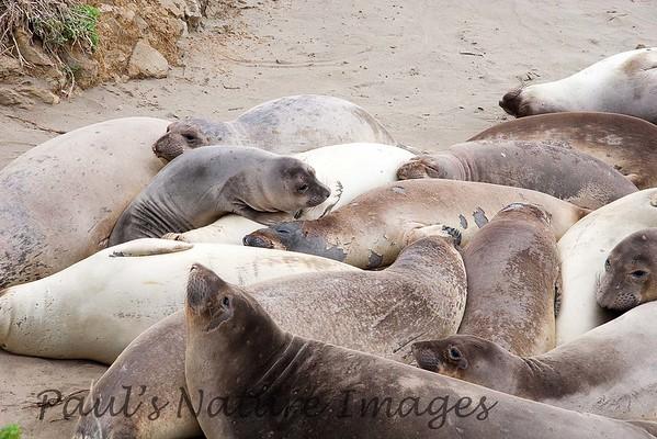 Elephant Seals Fem_06-04-11_00-546272673-O