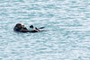 SeaOtters SanSimeon_16-01-28__C7A6527