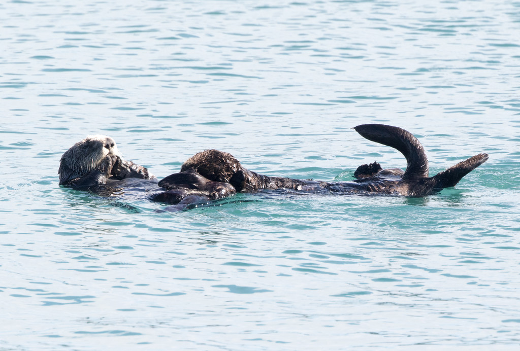 SeaOtters SanSimeon_16-01-28__C7A6563