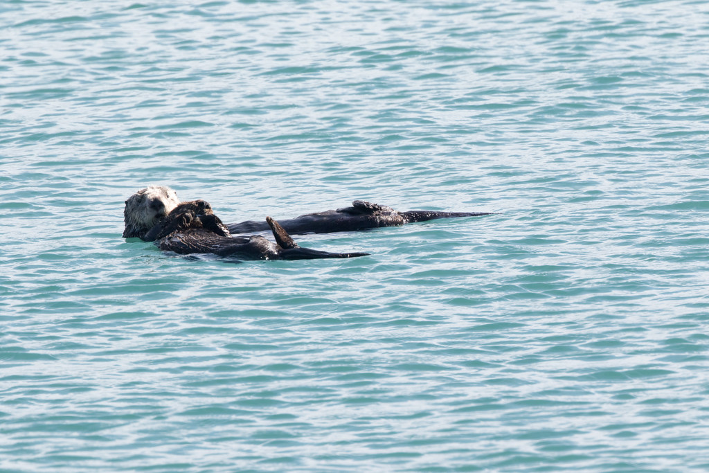 SeaOtters SanSimeon_16-01-28__C7A6539