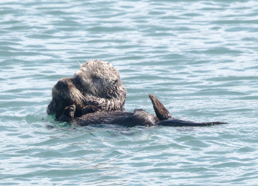 SeaOtters SanSimeon_16-01-28__C7A6542