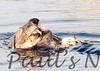 SeaOtter (102)-558659902-O
