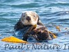 SeaOtter (243)-558660580-O
