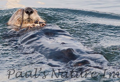SeaOtter (121)-558660192-O