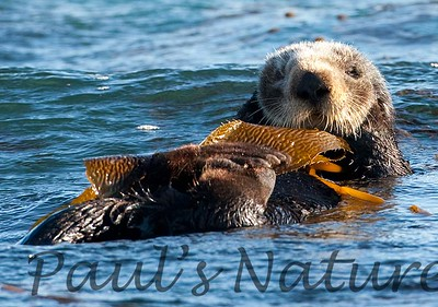 SeaOtter (213)-558660372-O