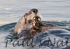 SeaOtter (124)-558660220-O