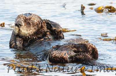 SeaOtter (290)-558660614-O