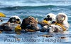 SeaOtter (197)-558660302-O