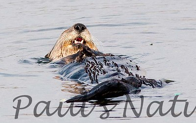 SeaOtter (112)-558660107-O