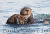 SeaOtter (329)-558660760-O
