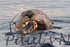 SeaOtter (126)-558660277-O