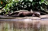 River otters (1)-529696767-O