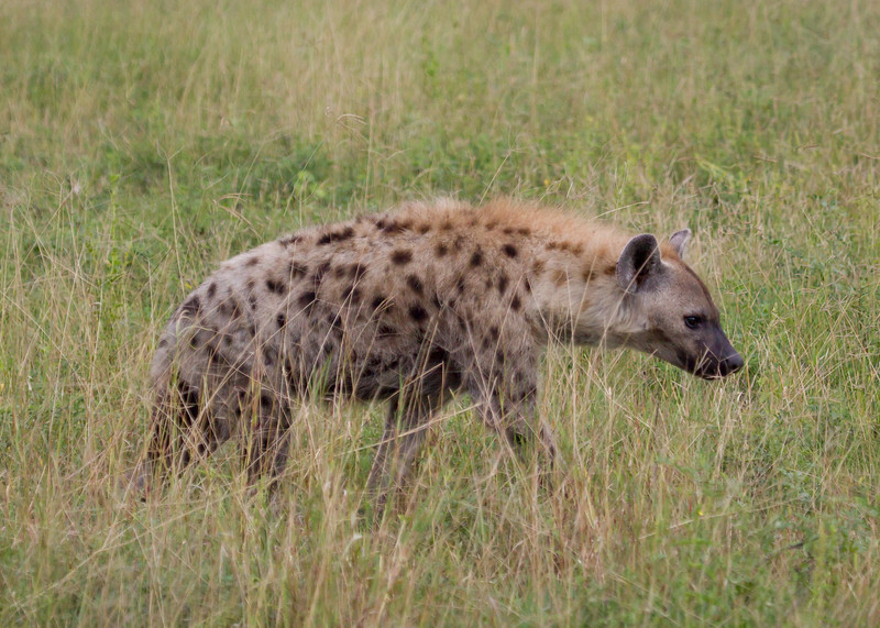 Hyena Ngala_14-03-20__O6B3426